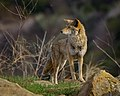 Alpha Male Coyote by Don Green (49736243467).jpg