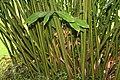 Alpinia purpurata 54zz.jpg