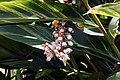Alpinia zerumbet 26zz.jpg