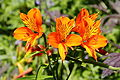 Alstroemeria aurea 'Orange King' 01.JPG