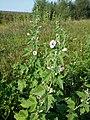 Althaea taurinensis sl45.jpg