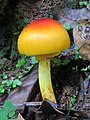 Amanita hemibapha from Alaram WLS during the Odonate Survey 2015.jpg