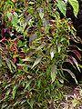 Amaranthus tricolor5.jpg