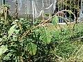 Amaranthus viridis sl22.jpg