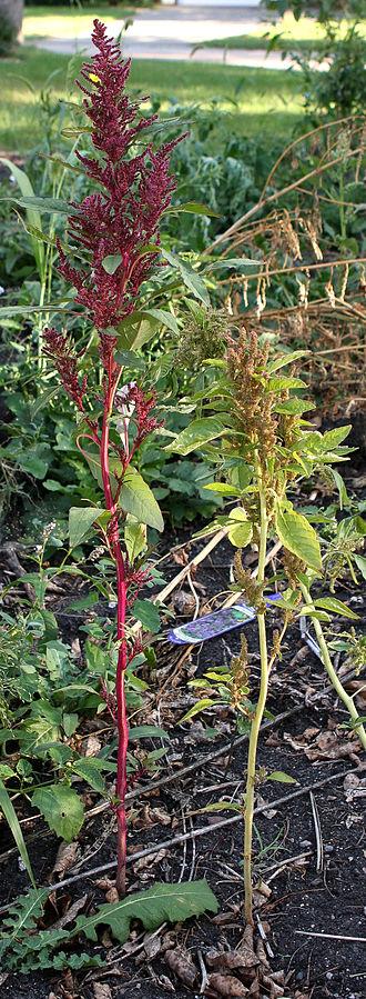 Amaranthus hybridus - Amaranthus hybridus