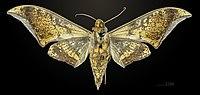 Ambulyx jordani MHNT CUT 2010 0 10 Morobe Province ventral.jpg