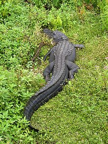 American Alligator in Florida.jpg