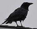 American Crow (Corvus brachyrhynchos) - St. John's, Newfoundland 2019-08-09 (01).jpg