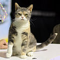 7 / American Wirehair