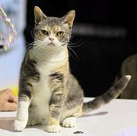 American Wirehair - CFF cat show Heinola 2008-05-04 IMG 8721.JPG