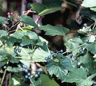 Ampelopsis - ''Ampelopsis glandulosa'' var. ''brevipedunculata''