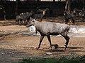 An injured nilgai bull in Mysore Zoo 9 April 2013 AJTJohnsingh DSCN5885.jpg