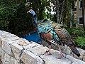 An ocellated turkey, (Meleagris ocellata) walking in a Yucatan resort.jpg