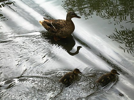Superposition of almost plane waves (diagonal lines) from a distant source and waves from the wake of the ducks. Linearity holds only approximately in water and only for waves with small amplitudes relative to their wavelengths. Anas platyrhynchos with ducklings reflecting water.jpg