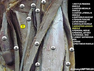 Adductor longus muscle - Image: Anatomical dissection 7