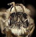 Andrena, carlini, m, face, 2016-04-05-13.06 (26299211606).jpg