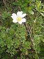 Anemone baldensis 001.JPG