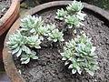 Anisochilus argentens-BSI-yercaud-salem-India.JPG
