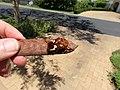 Anisorrhina flavomaculata; zigzag fruit chafer Scarabaeidae Cetoniinae IMG 9587.jpg
