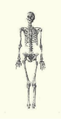 Anne of Antioch (1154-1184) queen of Hungary skeleton.png
