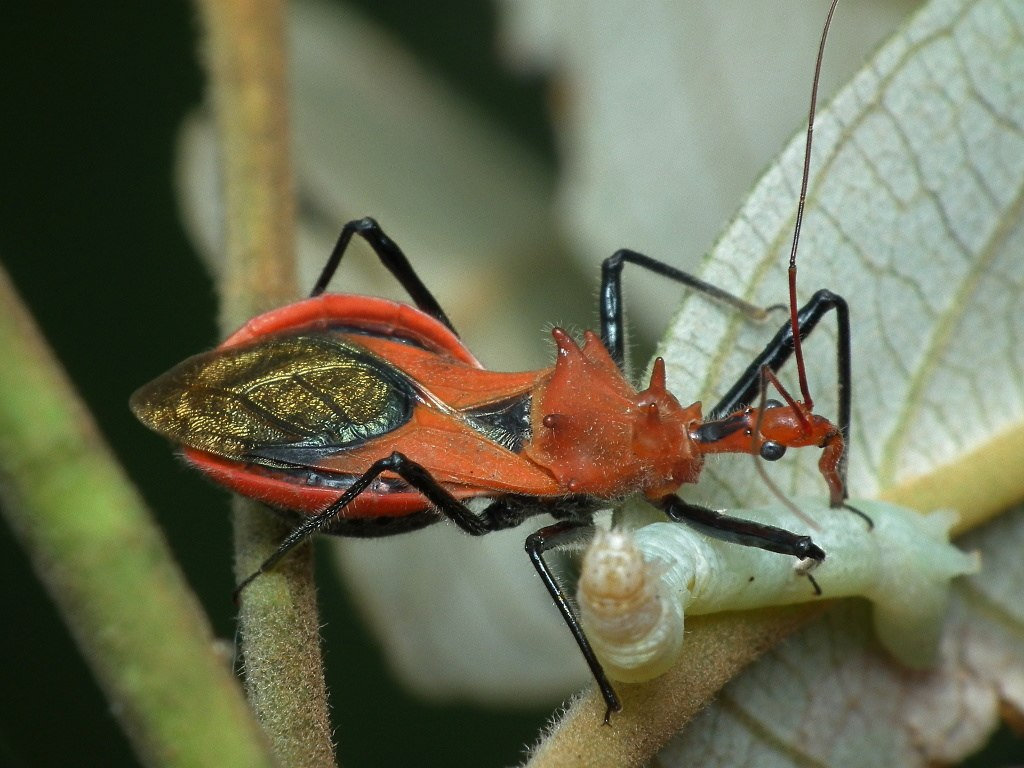 Another Assassin bug sucking (5584903628)
