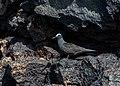 Anous stolidus galapagensis, isla Santa Cruz, islas Galápagos, Ecuador, 2015-07-26, DD 40.jpg
