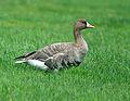 Anser albifrons albifrons Swallow Pond 1.jpg