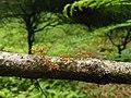 Ant walk Oecophylla IMG20170922124014.jpg