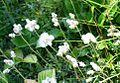 Antennaria dioica ENBLA04.jpg