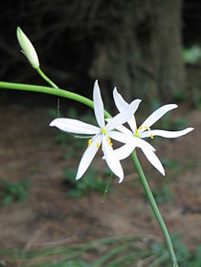 Anthericum liliago close-up.jpg