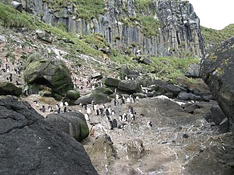 Antipodes Islands - Penguin colony (mixed species) in Anchorage Bay, Antipodes Island