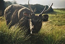 front view of a large brown deer with antlers