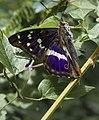 Apatura iris2.jpg