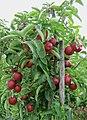 Appels (Haspengouw) - panoramio.jpg