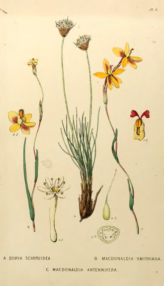John Lindley - Plate from 'A sketch of the vegetation of the Swan River Colony' by John Lindley