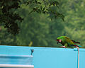 Ara militaris -National Aviary -USA -6a.jpg