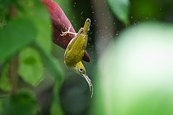 Arachnothera modesta, Grey-breasted spiderhunter - Khao Sok National Park (21324789981).jpg