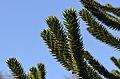Araucaria araucana - monkey-puzzle tree - monkey tail tree - chilenische Araukarie 04.jpg