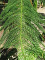 Araucaria columnaris needles 01 by Line1.jpg
