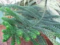 Araucaria luxurians leaves 02 by Line1.JPG
