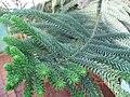 Araucaria luxurians leaves 02 by Line1.JPG