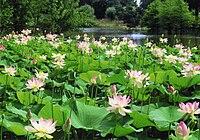 Arboretum Ellerhoop - Lotosblüte im Arboretum-See.jpg
