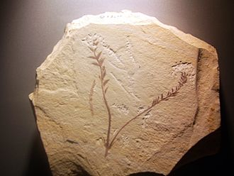 Archaefructus - Archaefructus liaoningensis - a photograph of a facsimile of the fossil