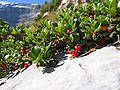 Arctostaphylos uva-ursi03.jpg