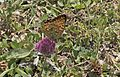 Argynnis aglaja - Güzel inci 06.jpg