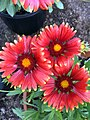 Arizona Red Shades' gaillardia IMG-8416.jpg