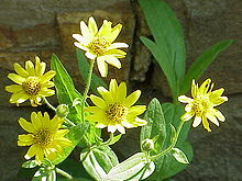 arnica - wikipedia, Skeleton