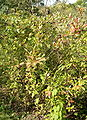 Aronia Xprunifolia HabitusFruitsLeaves BotGardBln0906a.jpg