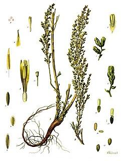 <i>Artemisia</i> (genus) genus of plants