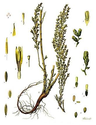Artemisia (genus) - Image: Artemisia cina Köhler–s Medizinal Pflanzen 165
